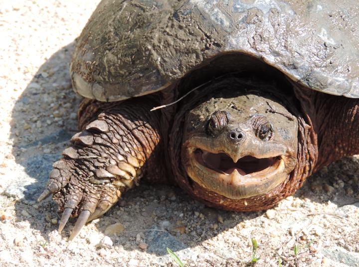 bill_hubick_snapping_turtle_ke_md_201404