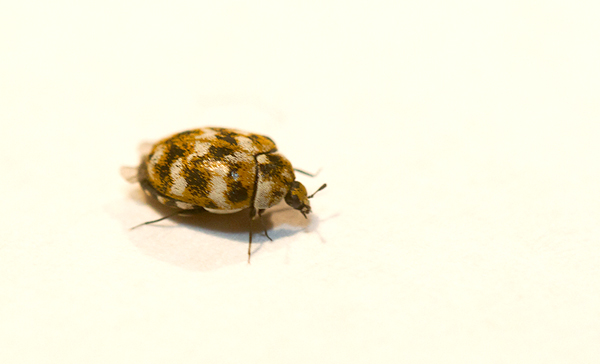 Maryland Biodiversity Project - Varied Carpet Beetle