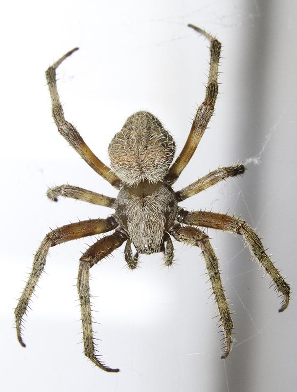 Maryland Biodiversity Project Barn Spider Neoscona