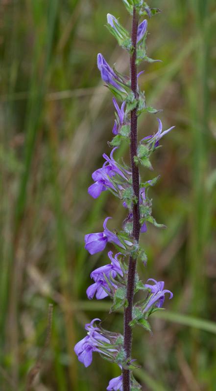 Maryland Biodiversity Project - Downy Lobelia (Lobelia ...