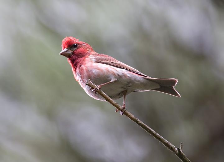 Purple Finch Nest Maryland Biodiversity ...