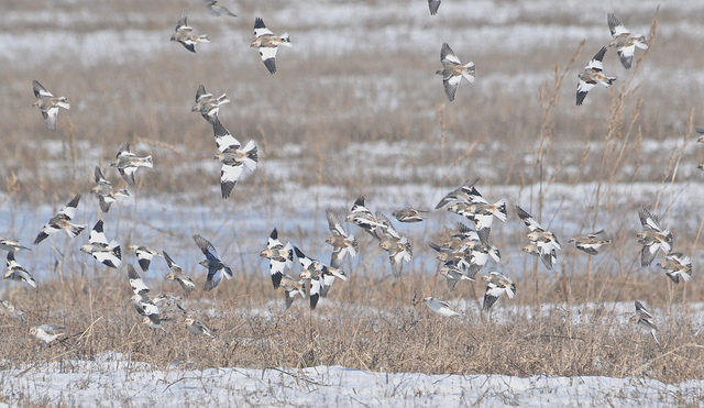 Image result for snow buntings in flight