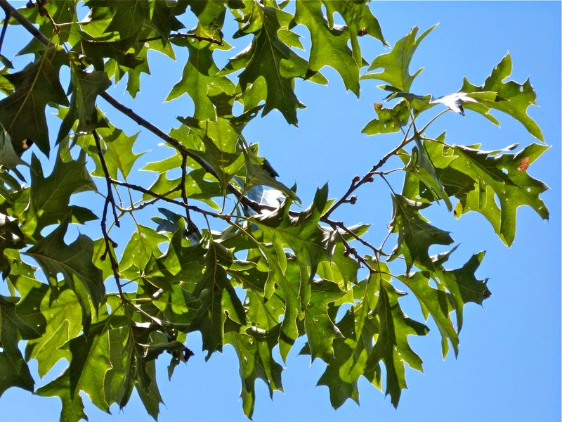 Maryland biodiversity project cherrybark oak quercus
