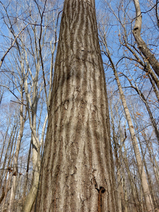 A Northern Red Oak in Talbot Co., Maryland (2/25/2013).