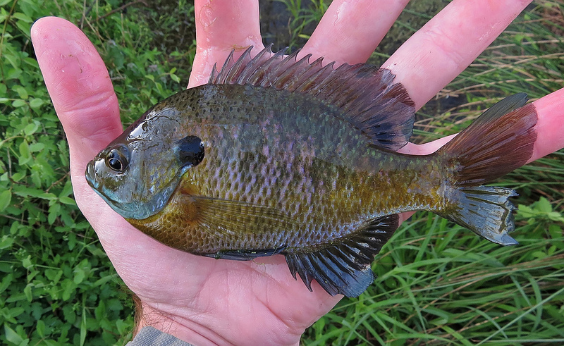 Maryland Biodiversity Project - Bluegill (Lepomis macrochirus)