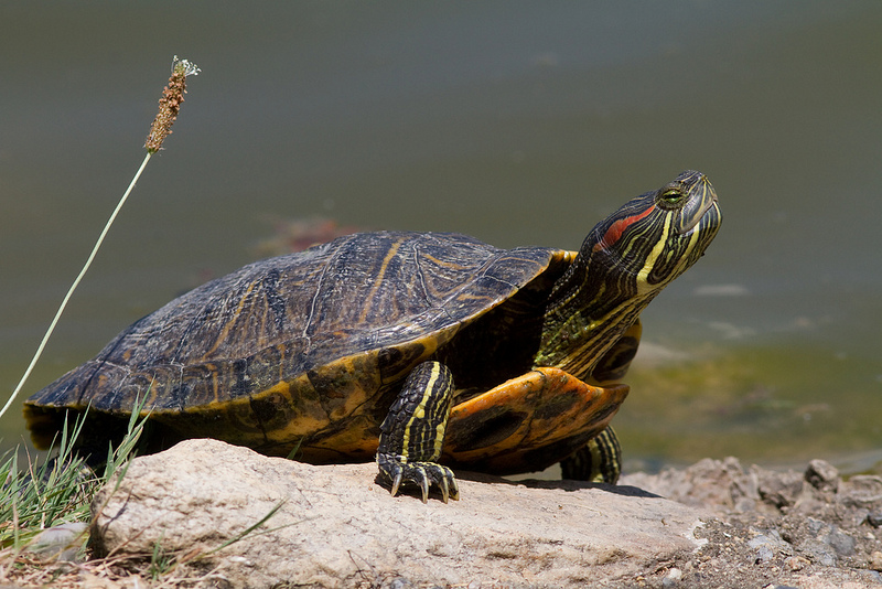 Maryland Biodiversity Project Red Eared Slider Trachemys Scripta
