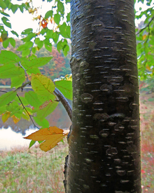Sweet Birch bark at Dans Mountain, Allegany Co., Maryland (10/2/2012).
