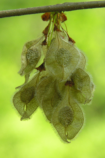 Seeds of an American Elm in Delaware Co., Ohio (5/8/2005).