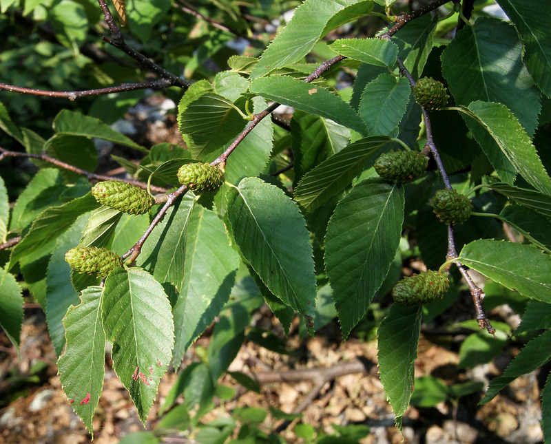Catkins of Sweet Birch in Allegany Co., Maryland (7/11/2014).