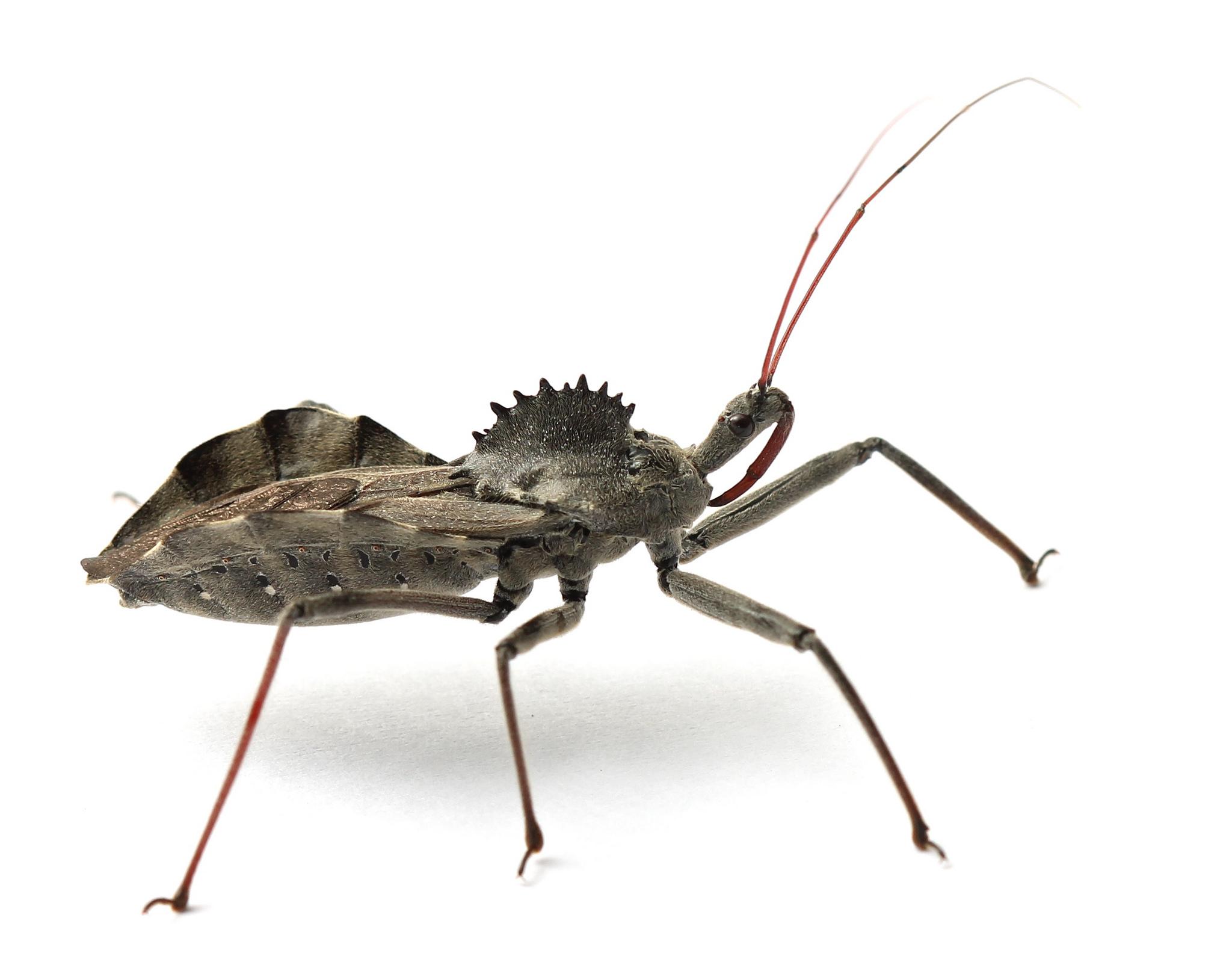 Maryland Biodiversity Project - Wheel Bug (Arilus cristatus)