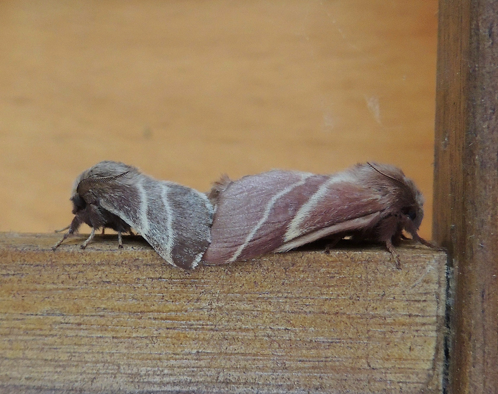 Eastern ... & Maryland Bioersity Project - Eastern Tent Caterpillar Moth ...