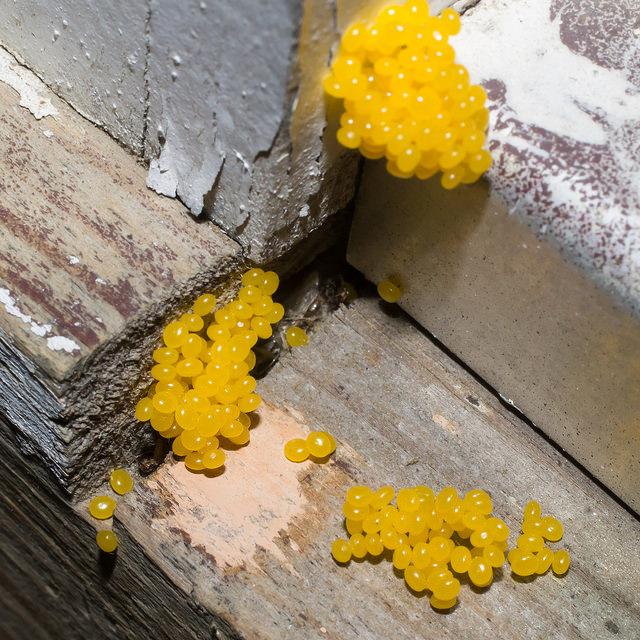 Maryland Biodiversity Project Spiny Oakworm Moth