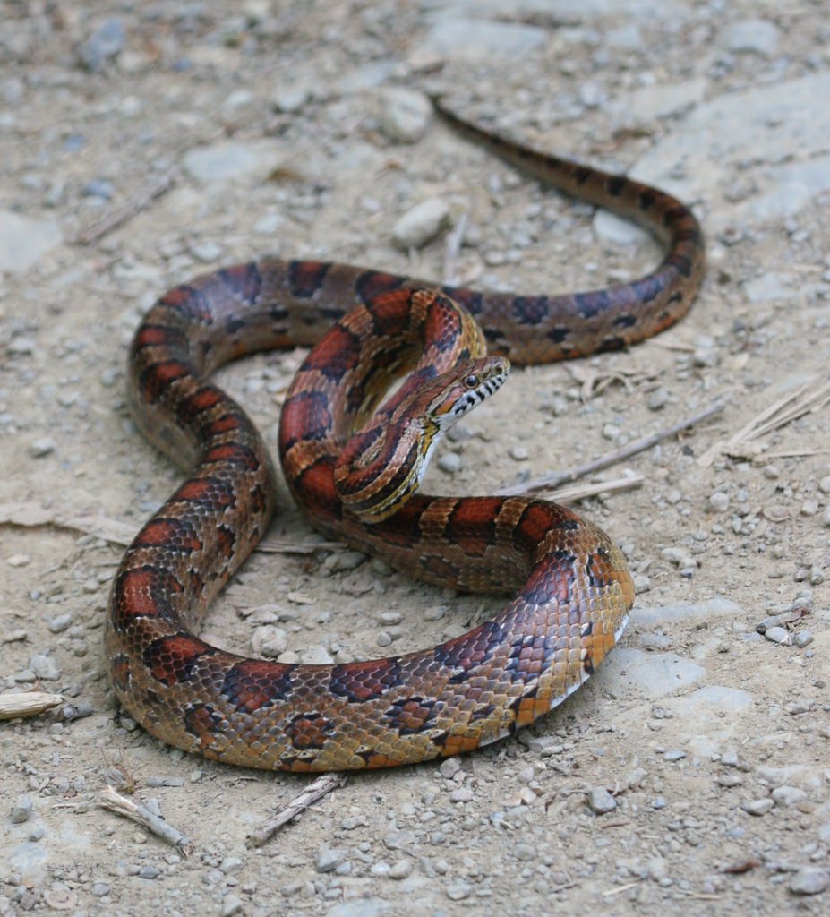 Maryland Biodiversity Project - Red Cornsnake (Pantherophis
