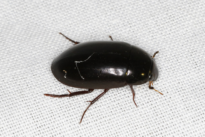 Maryland Biodiversity Project Giant Black Water Beetle