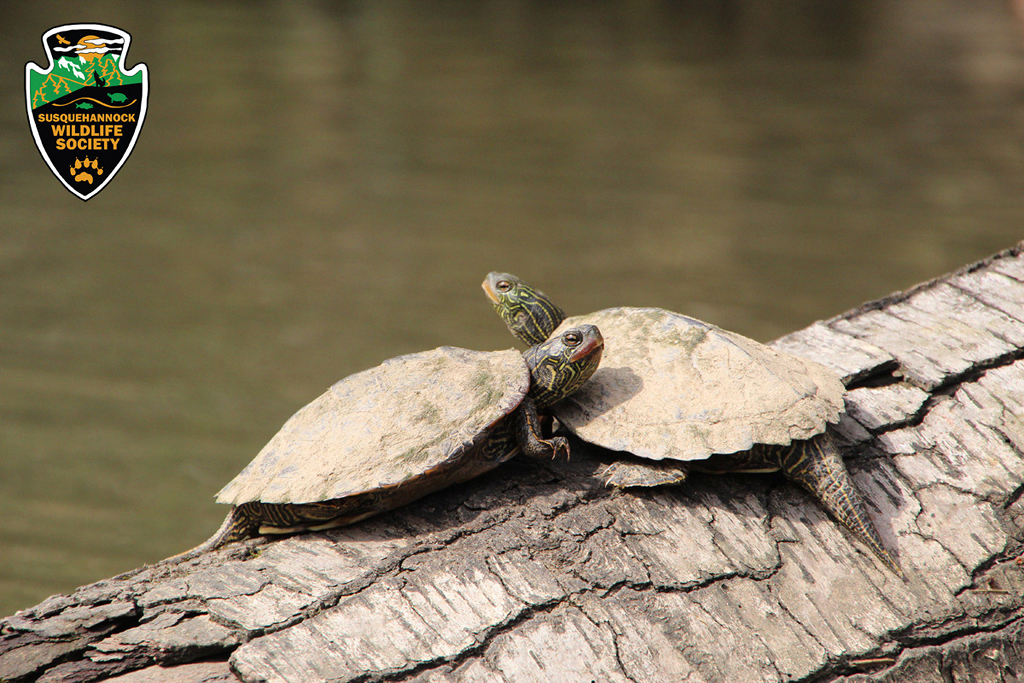 Maryland Biodiversity Project  Northern Map Turtle Graptemys