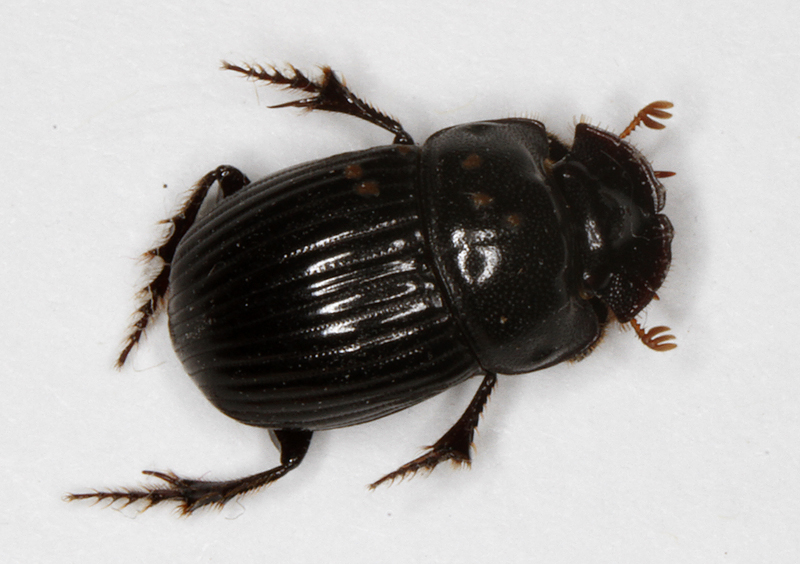 A. Maryland Biodiversity Project   Small Black Dung Beetle  Copris