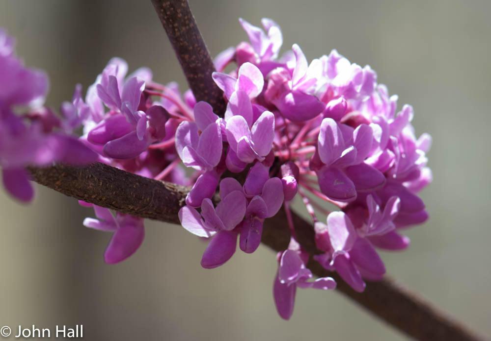 Eastern Redbud blooming in Washington Co., Maryland (4/27/2014).