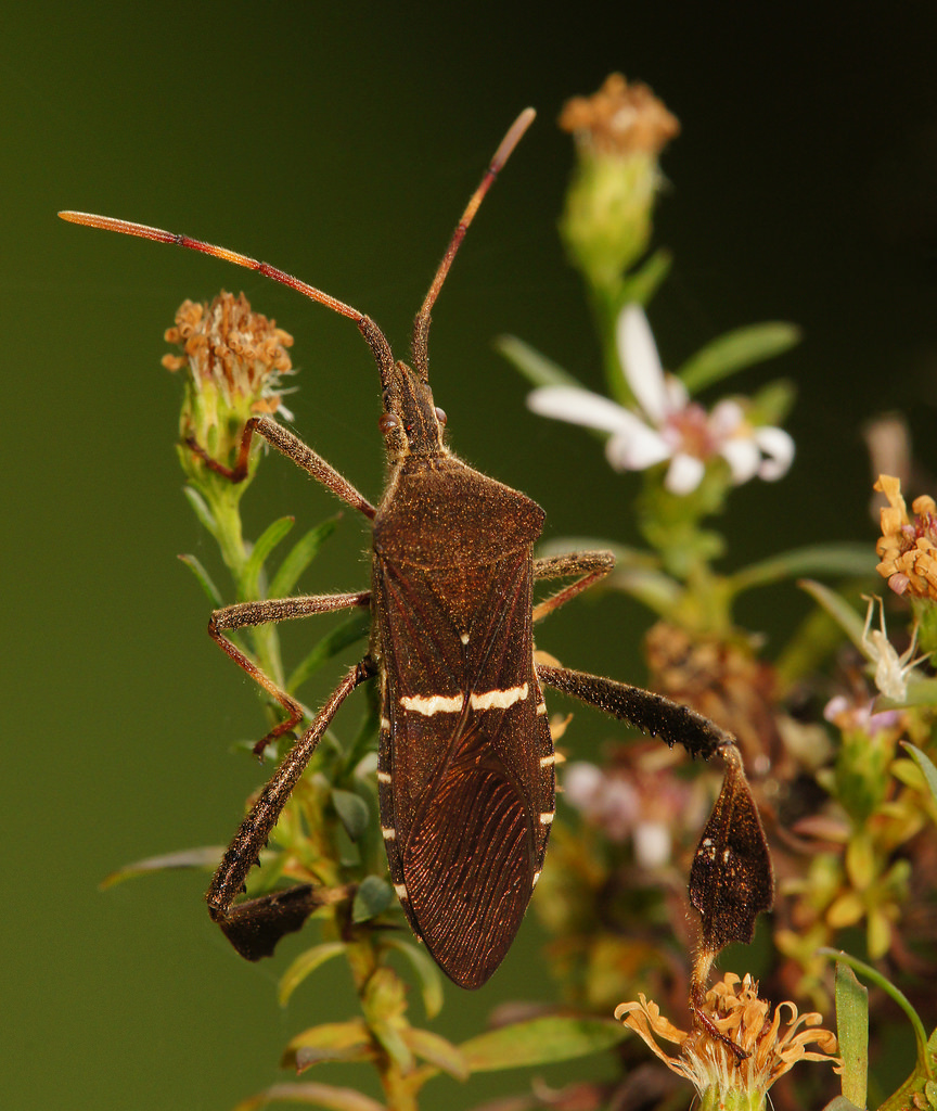 Maryland Biodiversity Project - Eastern Leaf-footed Bug ...