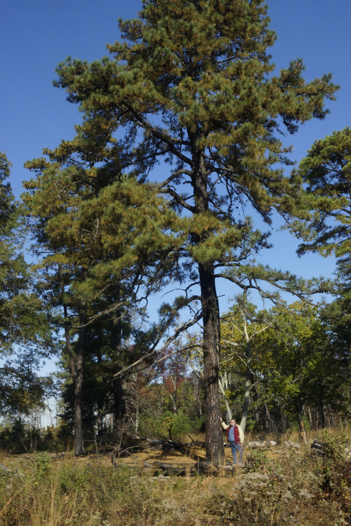 Pitch Pine in Anne Arundel Co., Maryland (10/29/2016). Maryland State Co-champion.