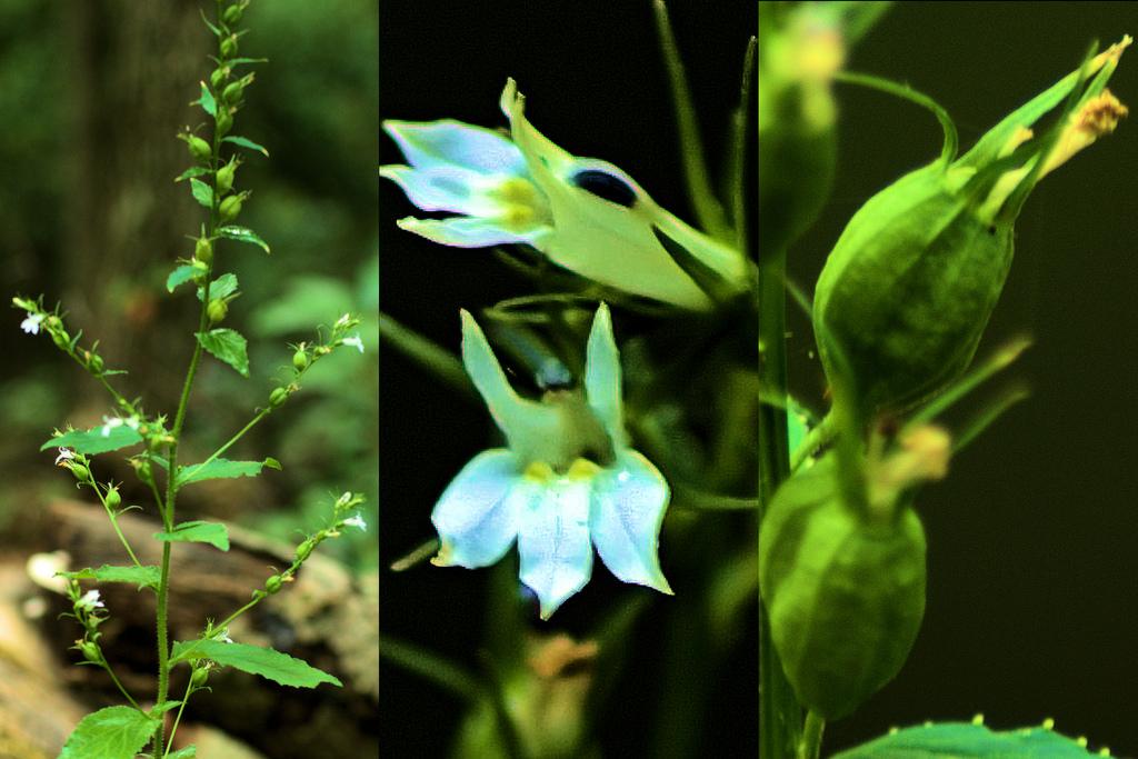 Maryland Biodiversity Project Indian Tobacco Lobelia Inflata