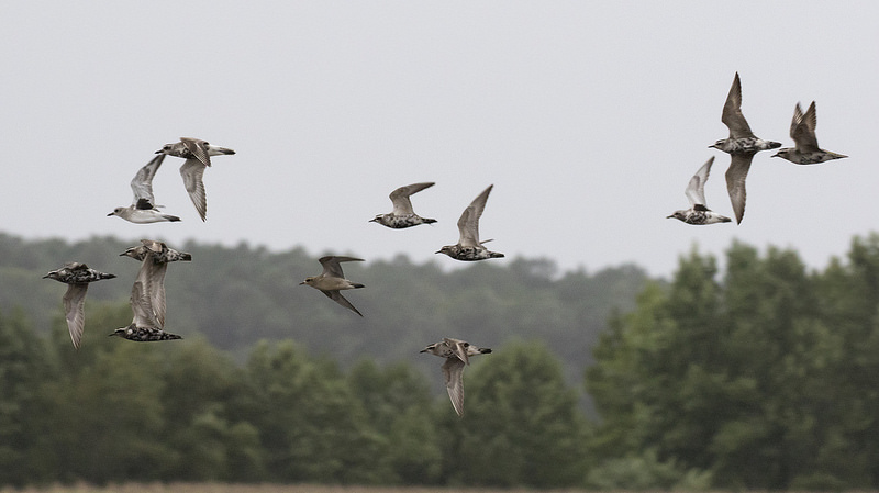 Maryland biodiversity project american golden plover pluvialis american golden plovers in flight freerunsca Images