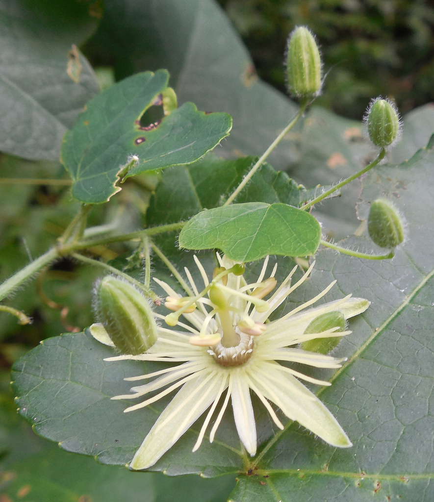 Maryland Biodiversity Project Yellow Passionflower Passiflora Lutea