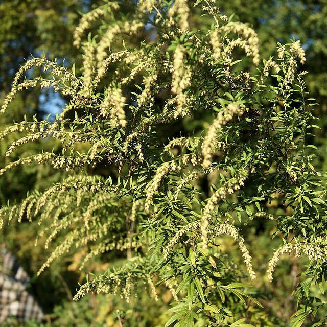 Maryland Biodiversity Project - Common Wormwood (Artemisia vulgaris)