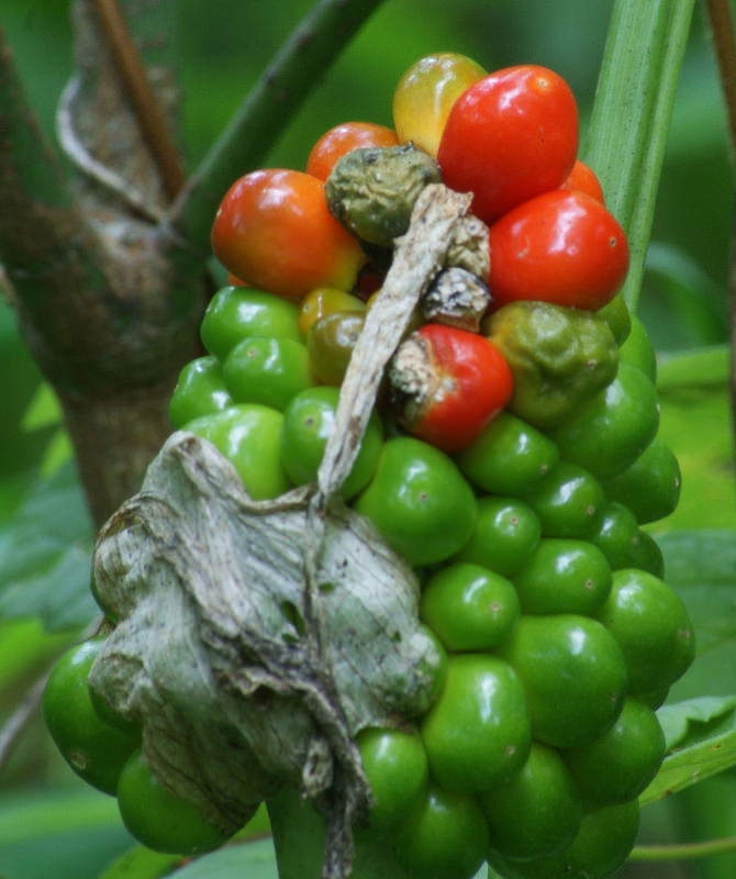 how to grow jack in the pulpit