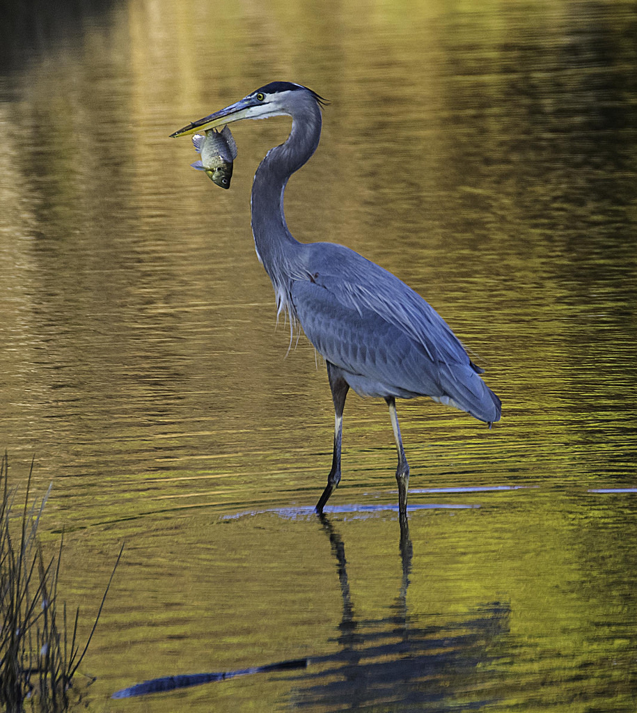 maryland biodiversity project great blue heron ardea herodias