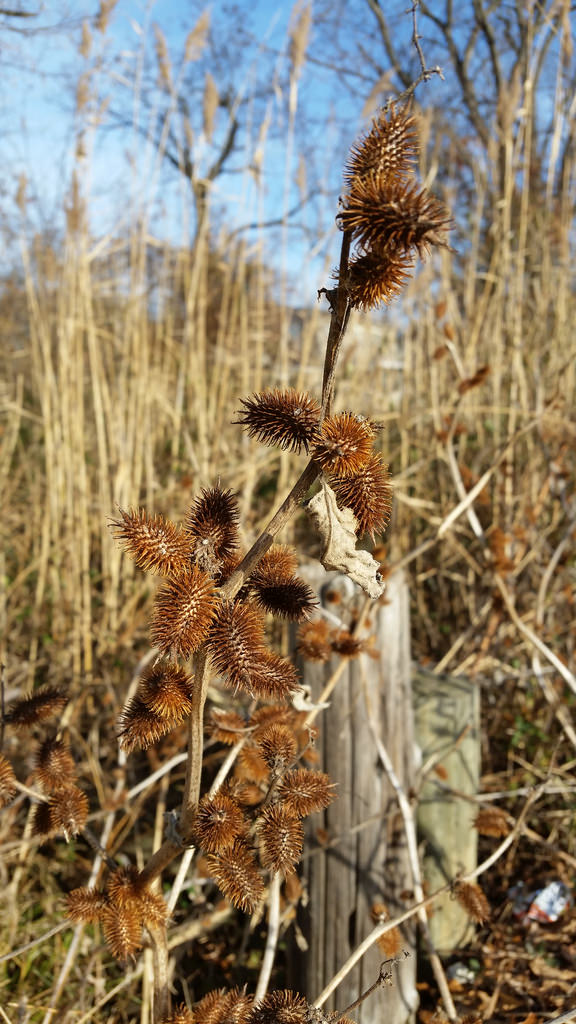 Maryland Biodiversity Project - Rough Cocklebur (Xanthium