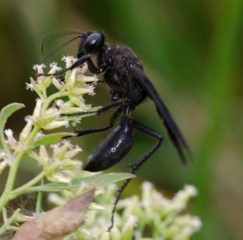 Types of black wasps - photo#44