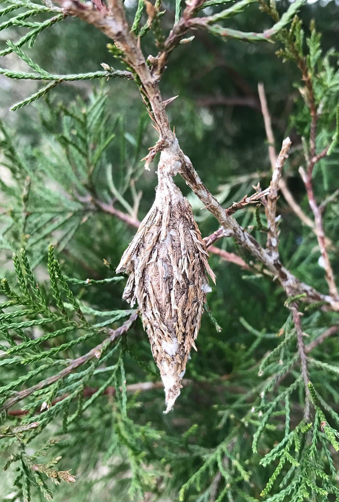 Maryland Biodiversity Project - Evergreen Bagworm Moth