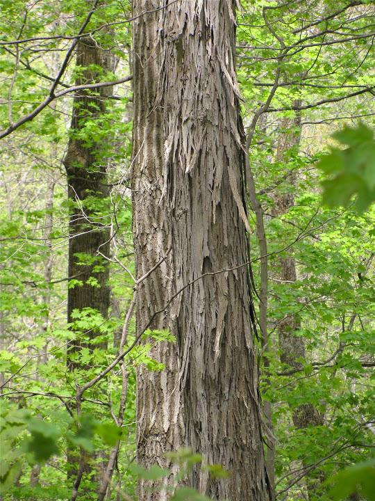 The distinctive bark of Shagbark Hickory found growing in Garrett Co., Maryland (5/1/2010).rn