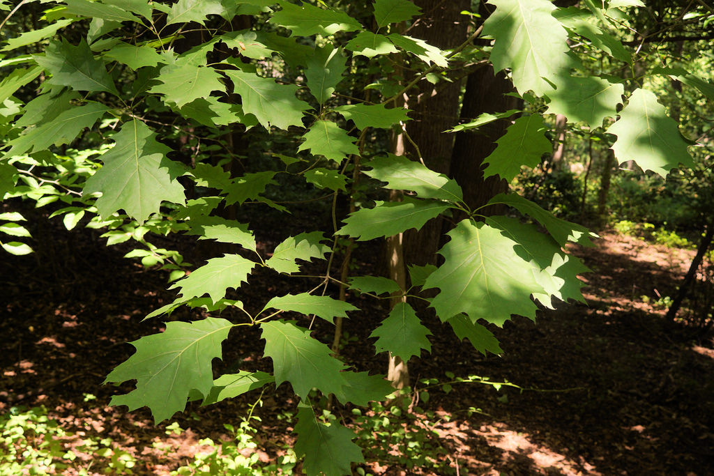 Northern Red Oak in Howard Co., Maryland (6/2/2017).