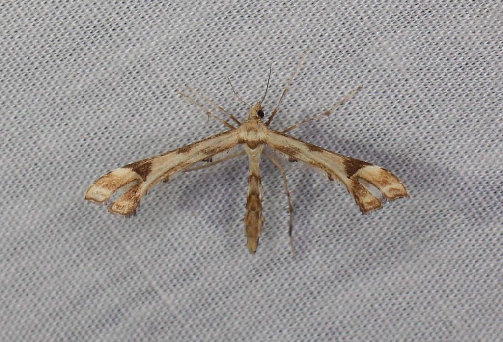 Maryland Biodiversity Project - Artichoke Plume Moth (Platyptilia