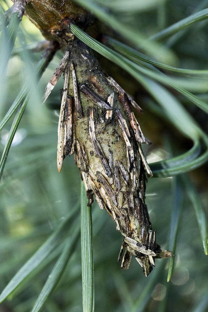 Maryland Biodiversity Project - Evergreen Bagworm Moth