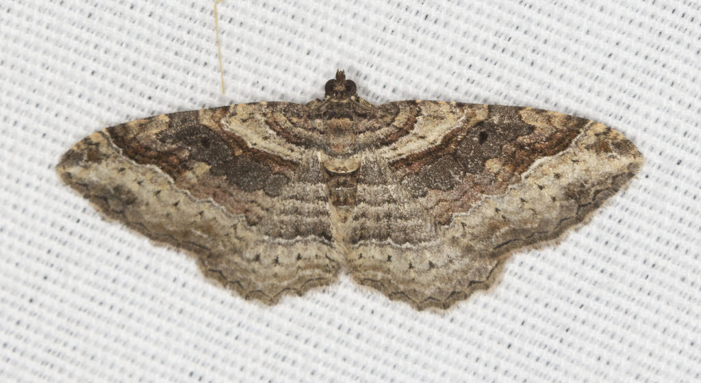 how to get rid of carpet moths
