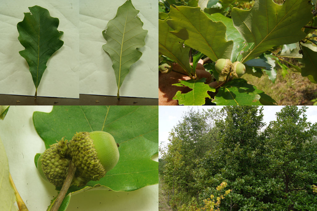 Swamp White Oak in Anne Arundel Co., Maryland (8/29/2011).