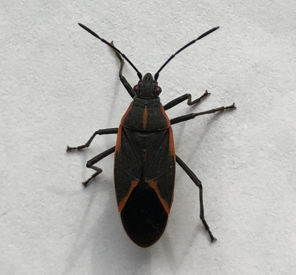 Eco Plagas boxelder bug