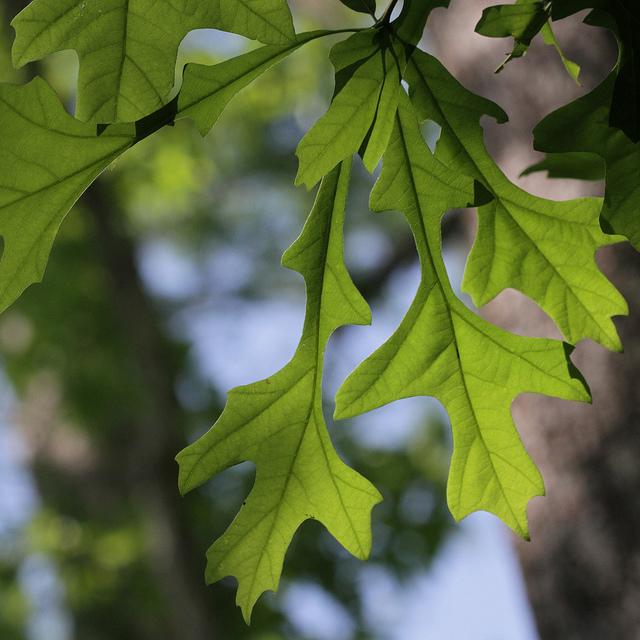 Leaves of Overcup Oak in Biedler Forest, South Carolina (4/25/2012).