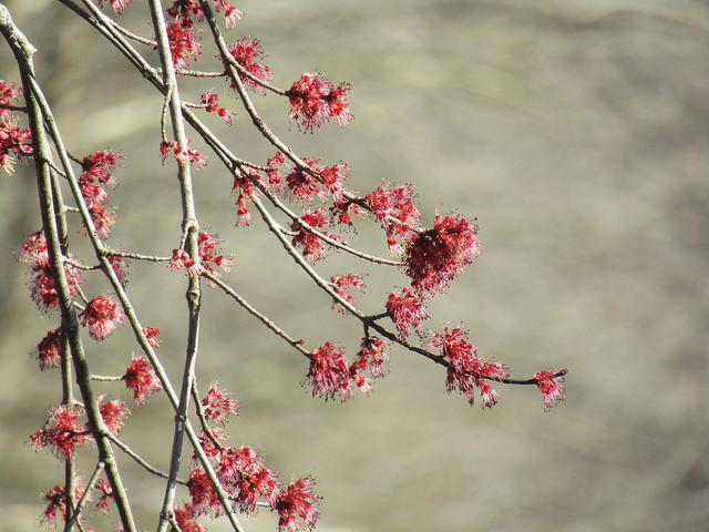 Red Maple in Caroline Co., Maryland (3/5/2018).