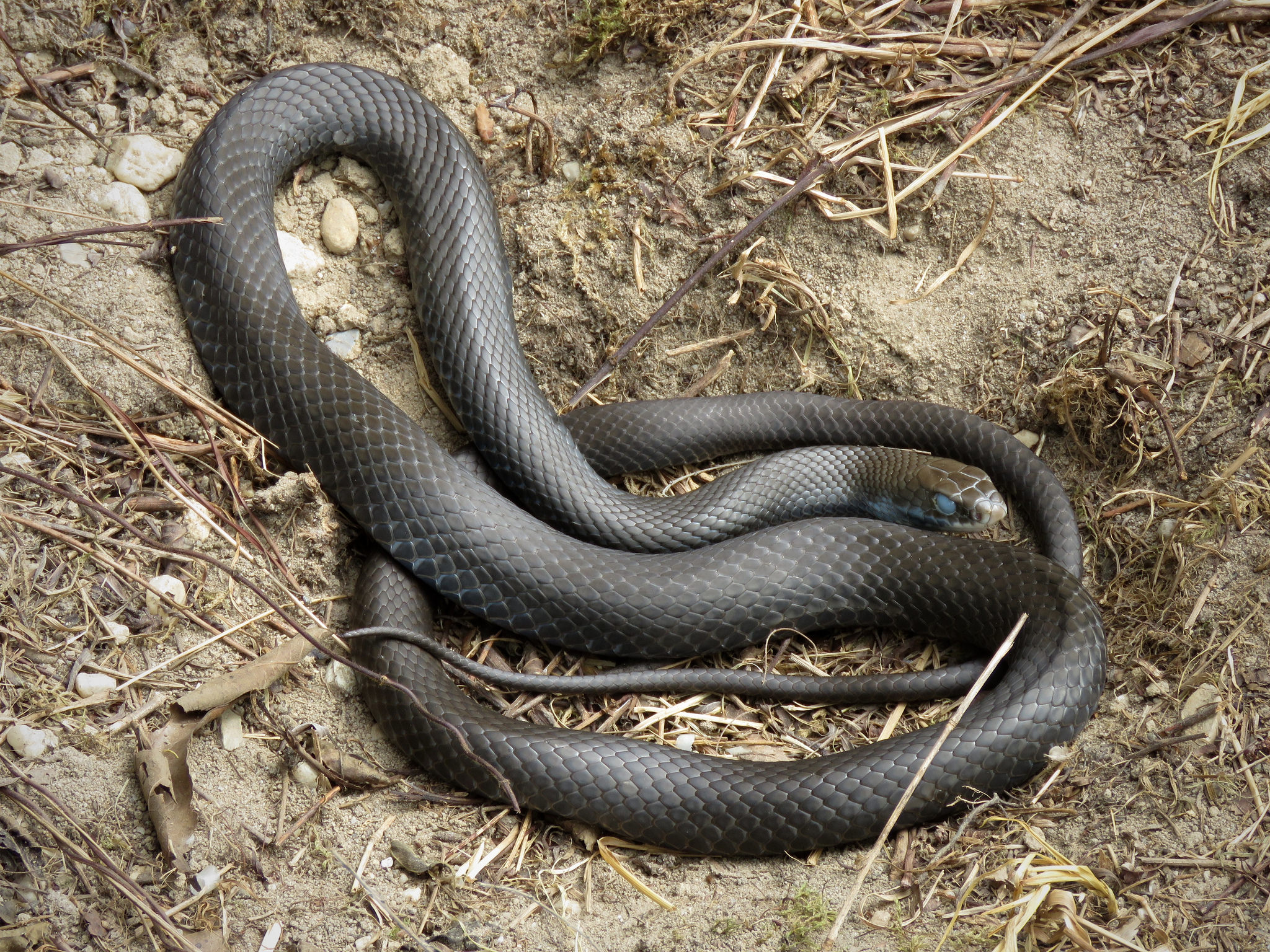 A Northern Black Racer