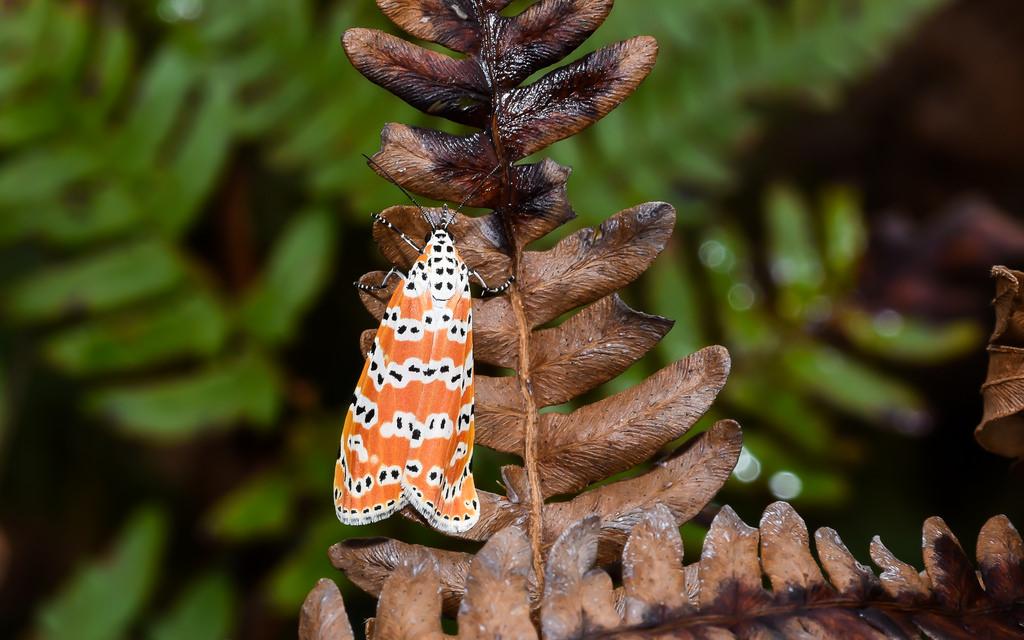 Maryland Biodiversity Project - Ornate Bella Moth (Utetheisa ornatrix)