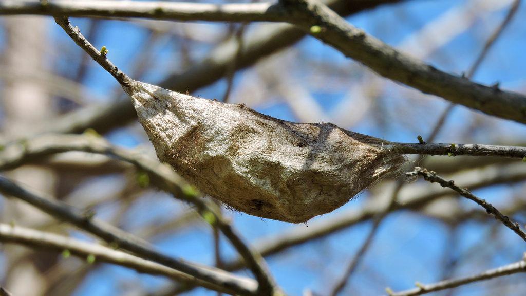 Maryland Biodiversity Project - Cecropia Moth (Hyalophora