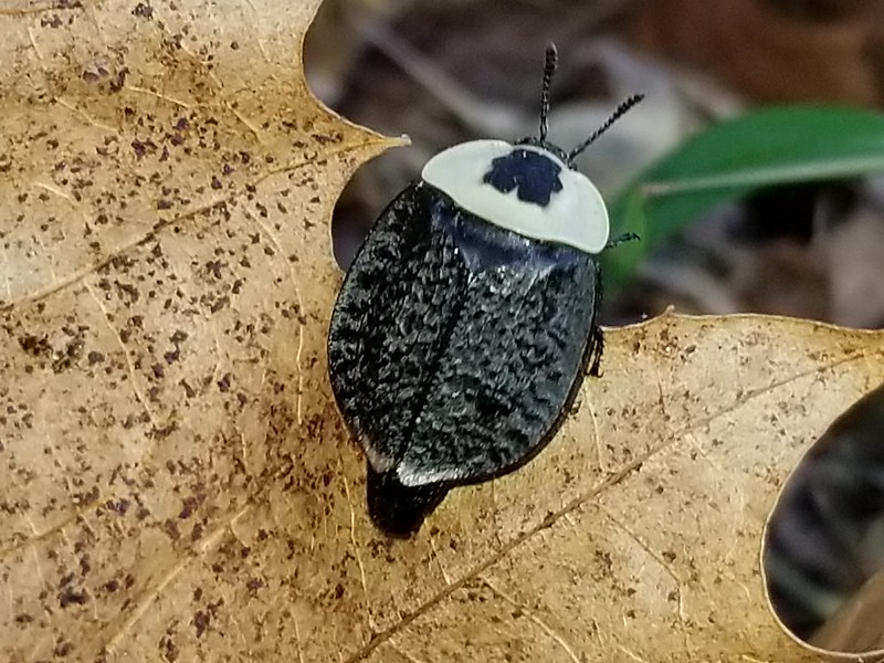Maryland Biodiversity Project American Carrion Beetle