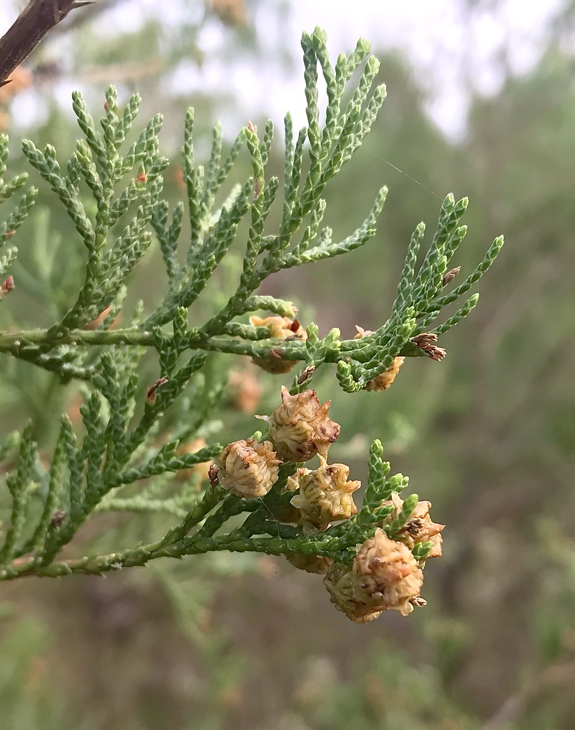 Atlantic White Cedar, with mature female cones, in Worcester Co., Maryland (10/11/2019).