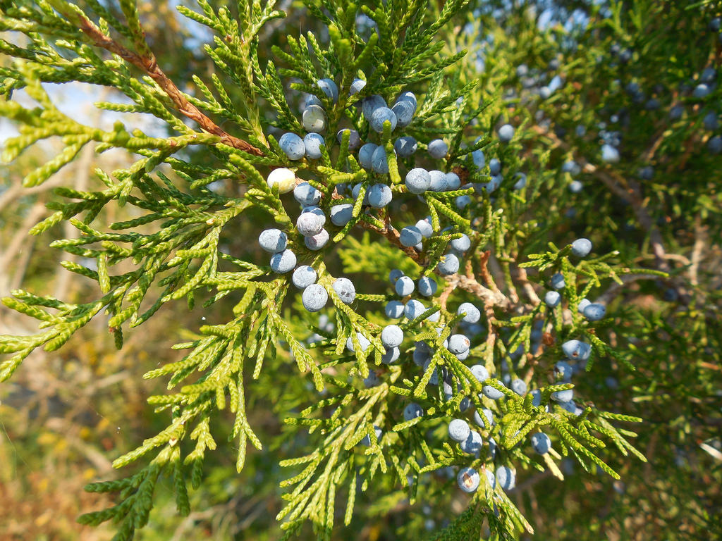 Eastern Red Cedar bearing seed cones, in St. Mary's Co., Maryland (10/5/2013).